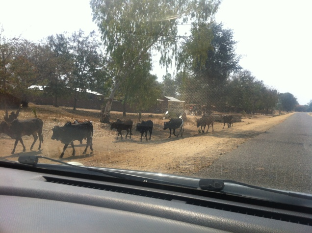 watch out for cows, goats, chickens, pigs, potholes and crazy minibuses.